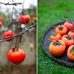 خرمالو، میوه جادویی پاییز